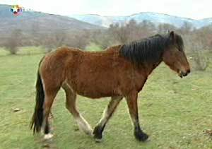 El caballo serrano, raza autóctona de Madrid, en proceso de recuperación