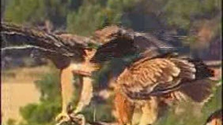 Desarticulada una red de tráfico ilegal de aves rapaces