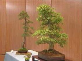 Los mejores bonsais de la Comunidad en la Rosaleda del Parque del Oeste