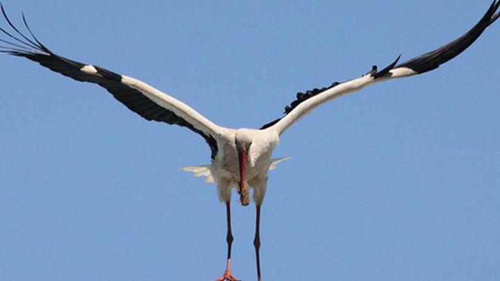 Salvan a una cigüeña herida y atrapada en un nido en Paracuellos de Jarama