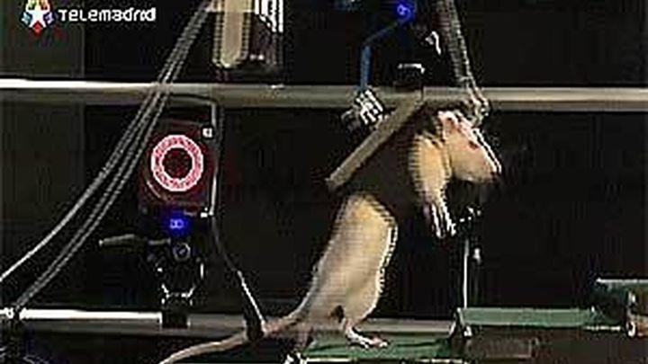 Científicos suizos logran que vuelva a andar una rata con la médula seccionada