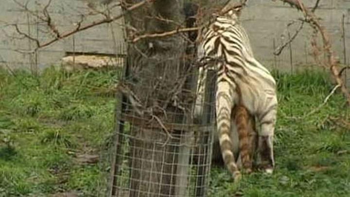 Una tigresa dorada llega al Zoo Aquarium de Madrid