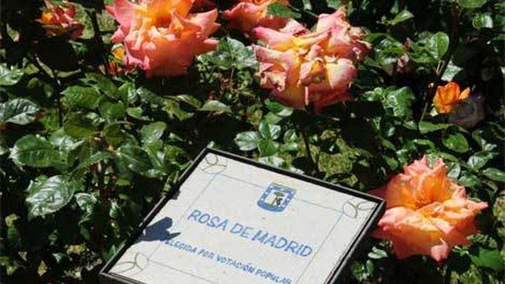 Un rosal francés, medalla de Oro del Concurso Internacional de Rosas Nuevas de Madrid