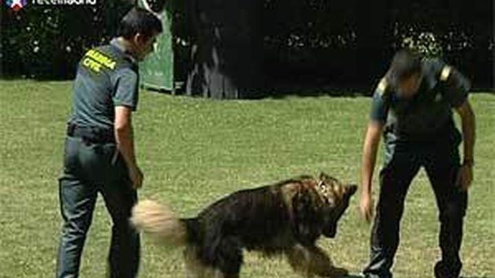 Perros policía de la Guardia Civil: cada vez más especializados
