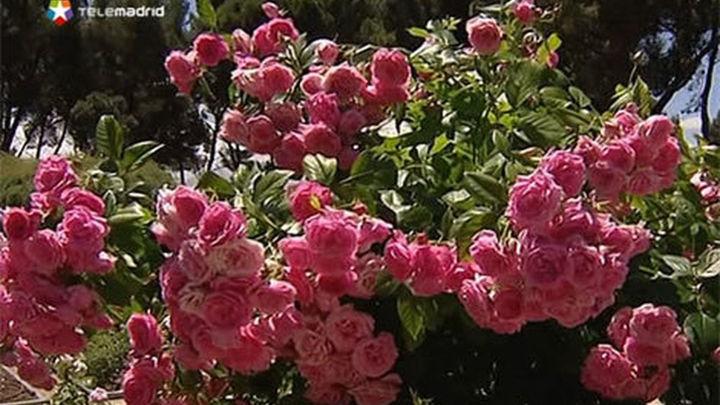 Un rosal francés gana el Concurso Rosas Nuevas 'Villa de Madrid'