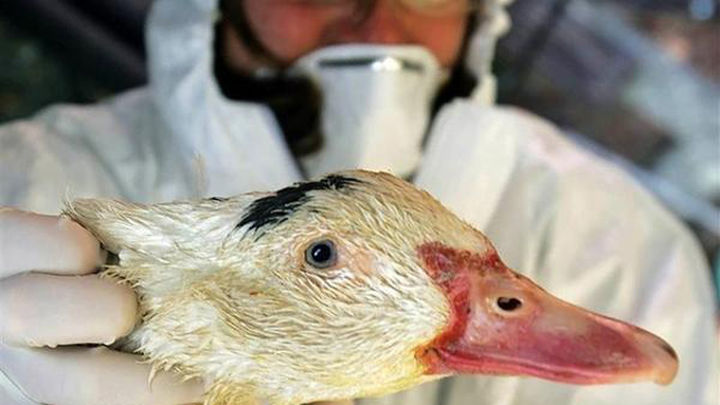 La UE adoptará medidas de emergencias para contener la cepa de gripe aviar