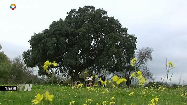 Madrid tiene 283 árboles singulares, entre ellos el más viejo de la península