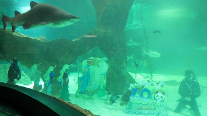 El Aquarium del Zoo acoge el tradicional Belén acuático de tiburones
