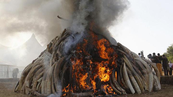 Kenia quema 15 toneladas de marfil para pedir el final de la caza furtiva