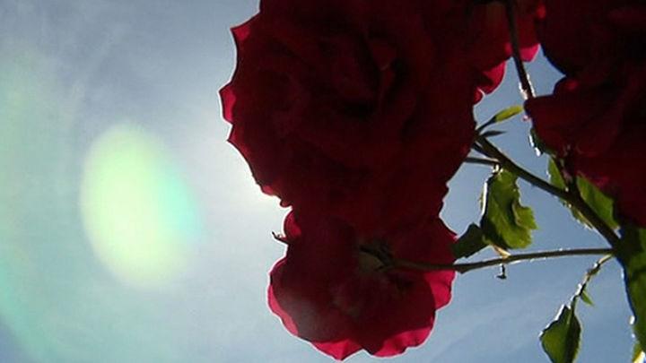 Madrid elige su mejor rosa entre 85 variedades
