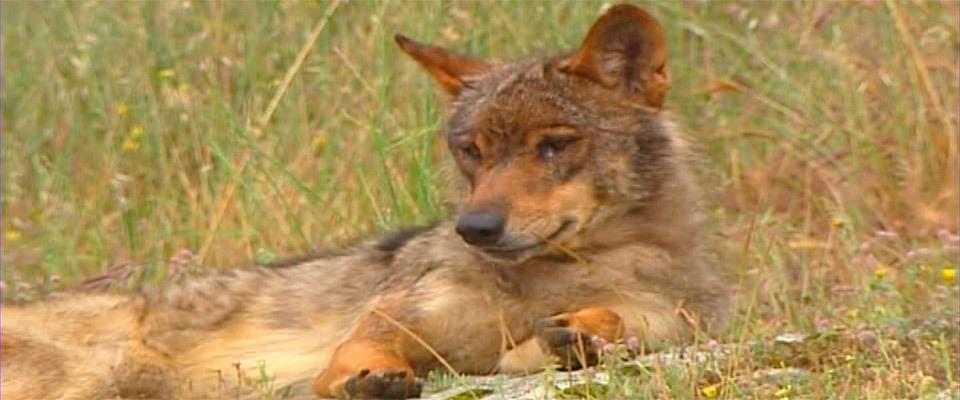 Objetivo Crítico: El lobo en Madrid