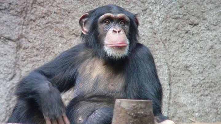Los chimpancés tienen capacidad cognitiva para cocinar