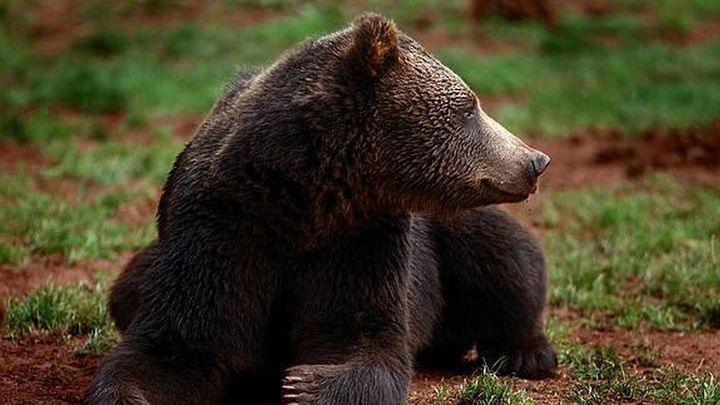 Un oso ataca a un hombre en Campoo y le hiere en la cara, cuello y brazo