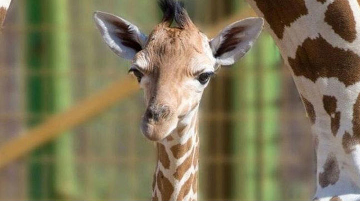 Nace la primera cría de jirafa en Safari Madrid en más de diez años