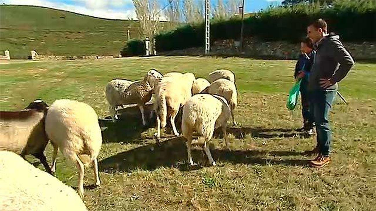 Robledillo de la Jara: Las ovejas de Aquilina