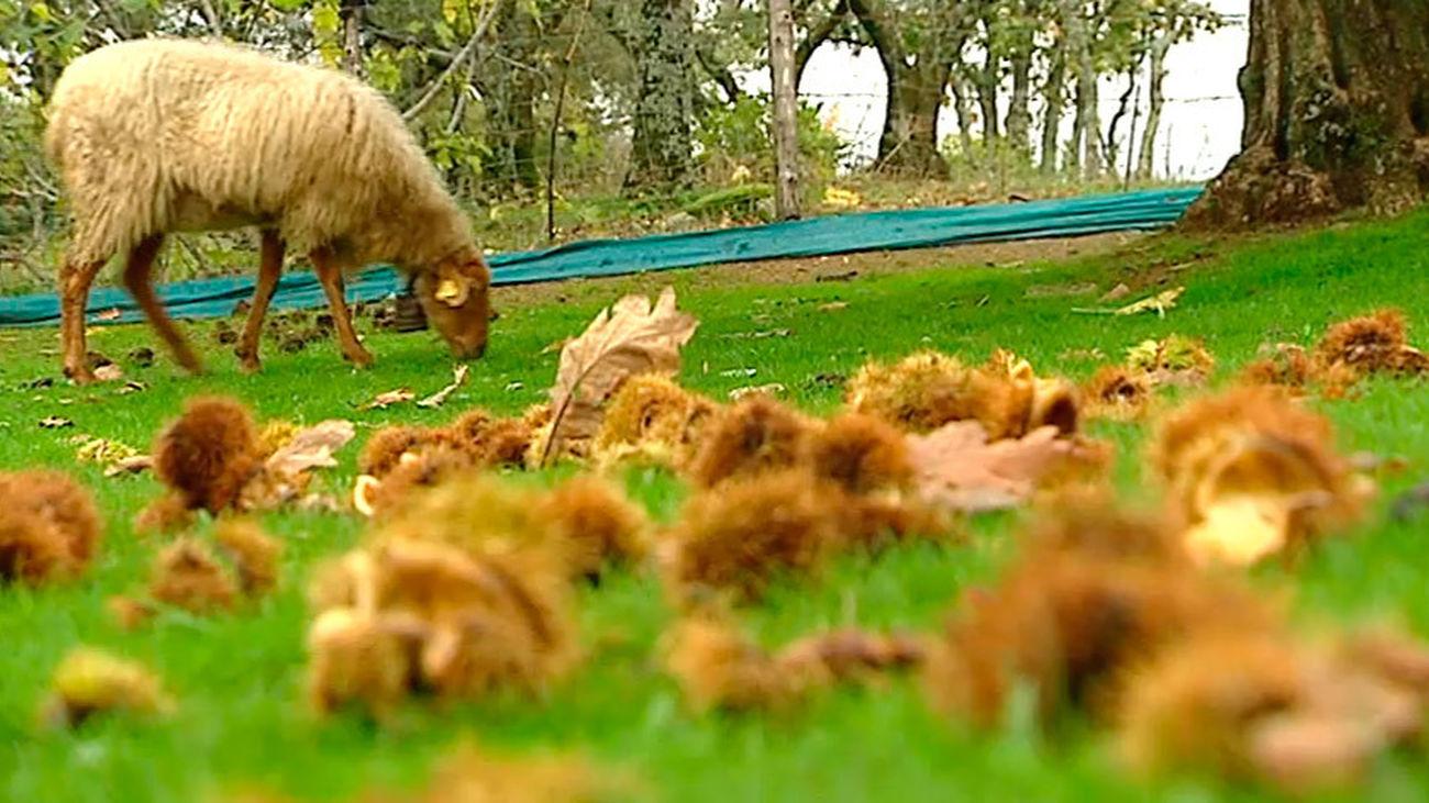 Rozas de Puerto Real: La oveja rubia del Molar, en peligro de extinción