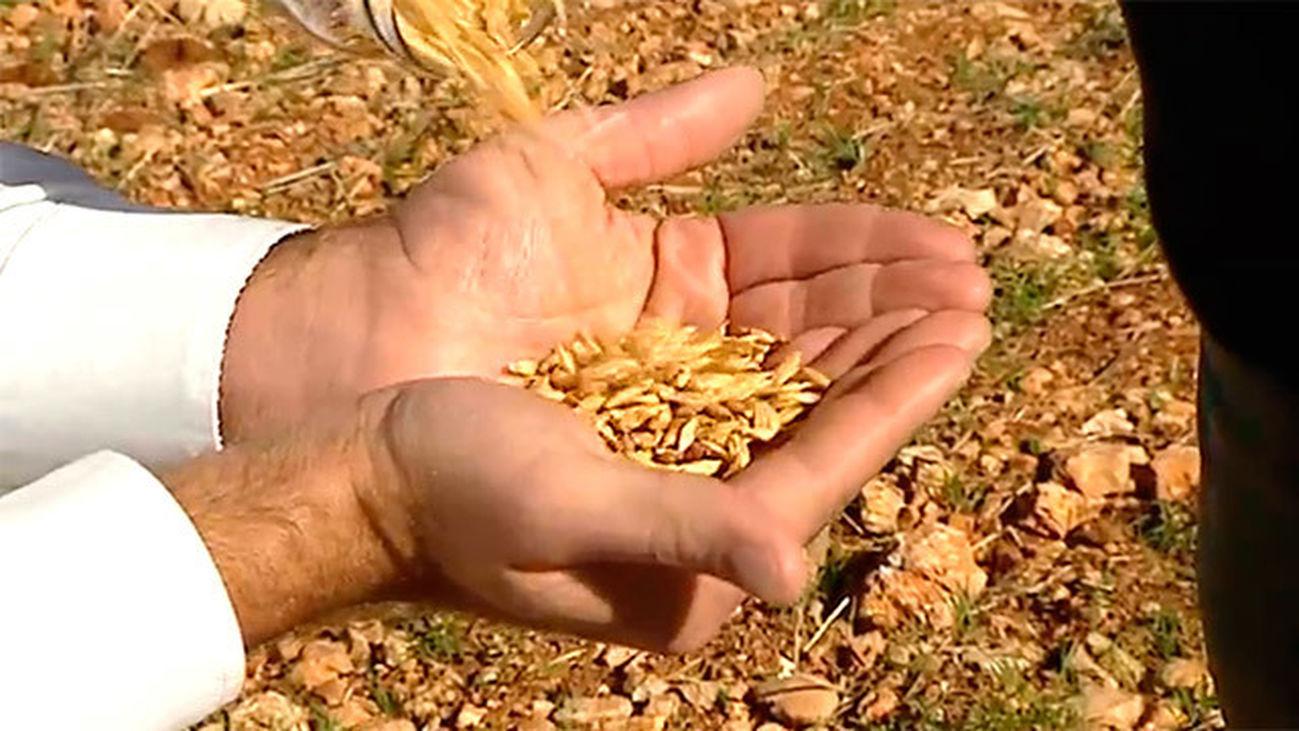 Pezuela de las Torres: La espelta, el cereal del futuro