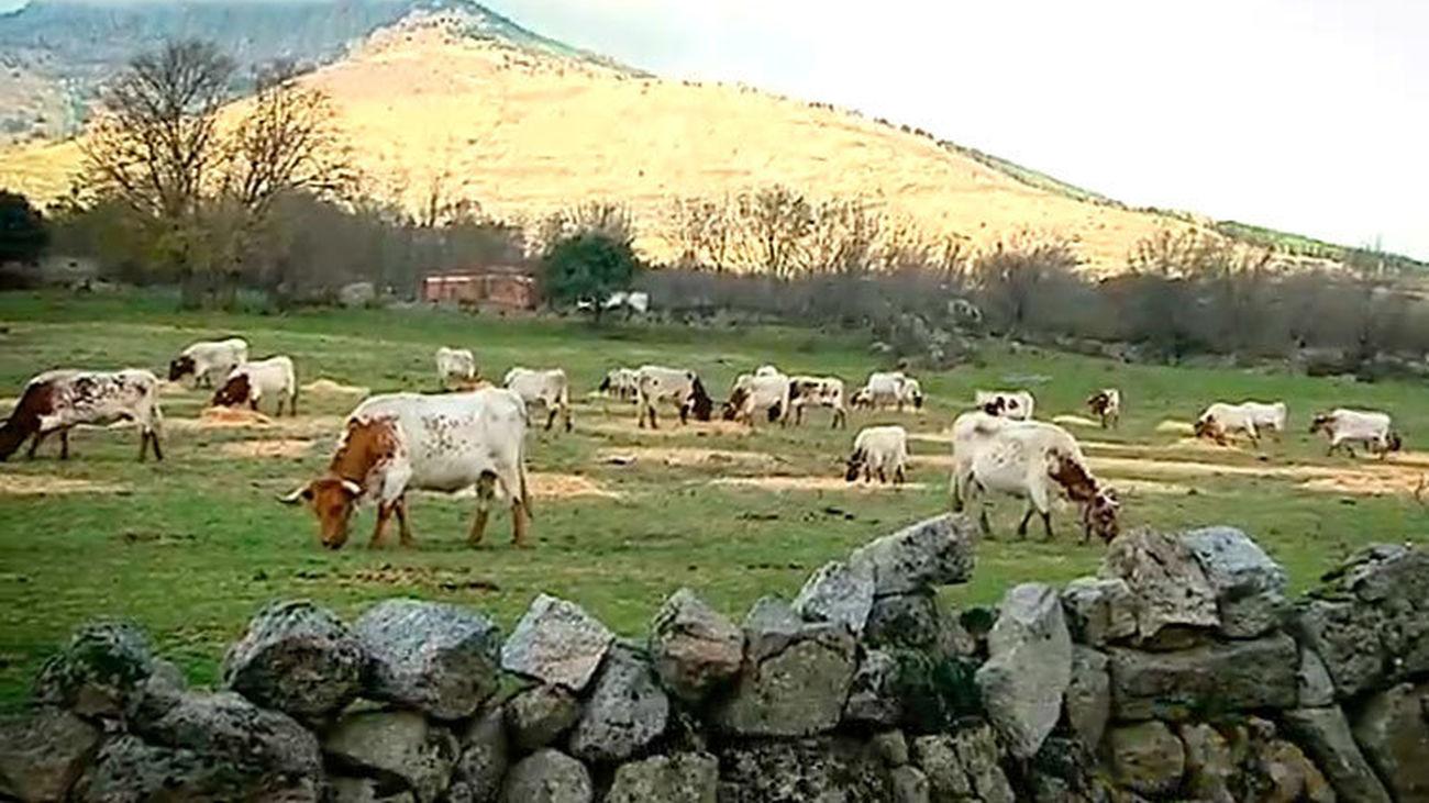 Los Molinos: Vacas andaluzas en la sierra madrileña