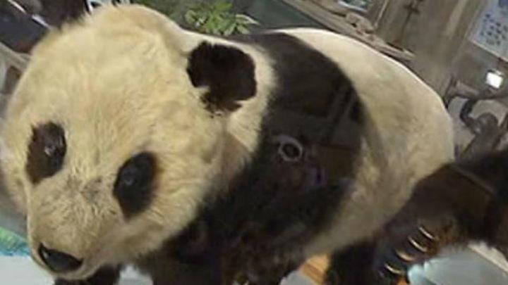 Chu-Lin, disecado en el Museo Nacional de Ciencias Naturales