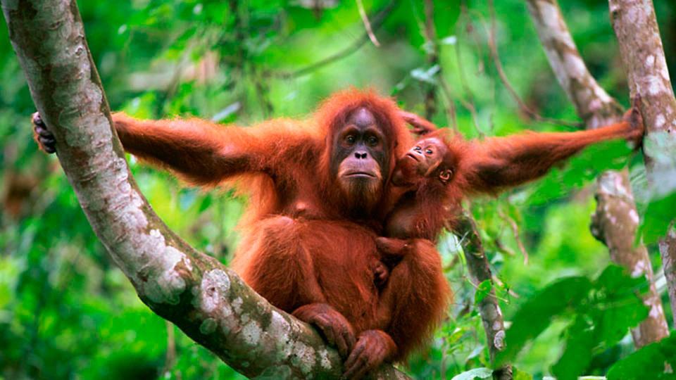 orangutan_suroesteindonesia480p_20160202.mp4 02.02.2016