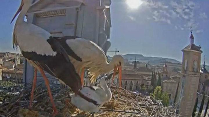 Reactivan la cámara web de las cigüeñas instalada en el Ayuntamiento de Alcalá