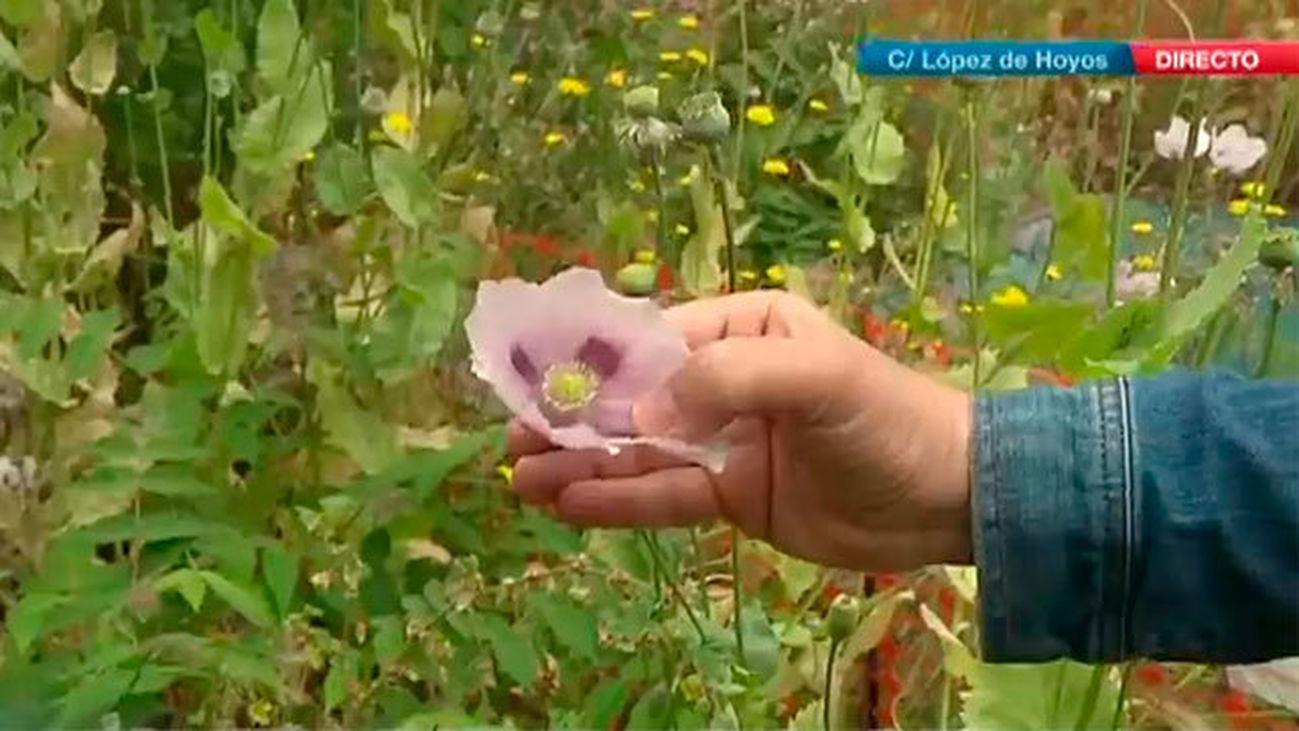 Cientos de plantas de opio en el centro de Madrid