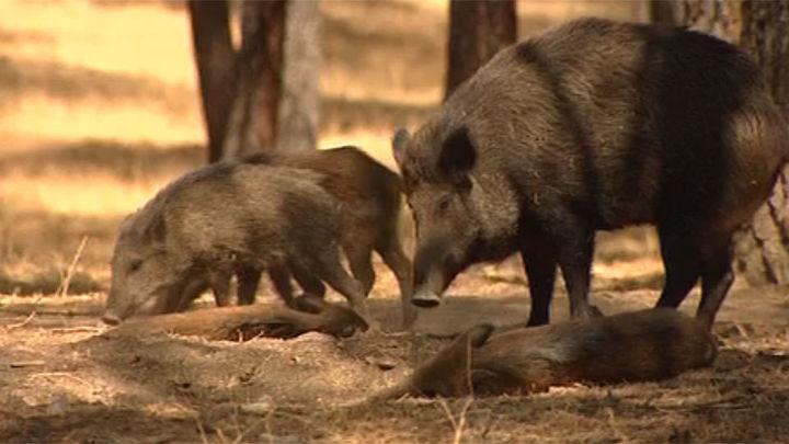 Piden en Collado Villalba eliminar la caza con arco para controlar jabalíes