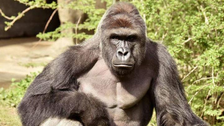 La caza ilegal lleva los grandes simios al borde de la extinción