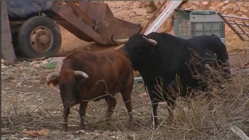 Un toro vigila un desguace para evitar robos