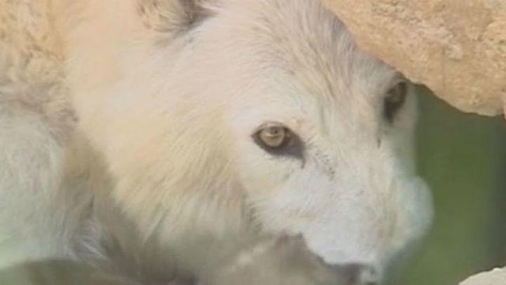 El Plan de Gestión de lobo instalará cercados eléctricos para proteger al ganado