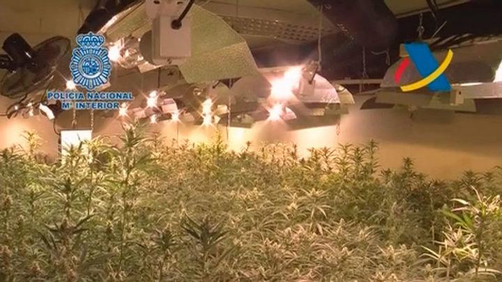 Intervenidas más de 17.000 plantas de marihuana a una red dirigida por chinos