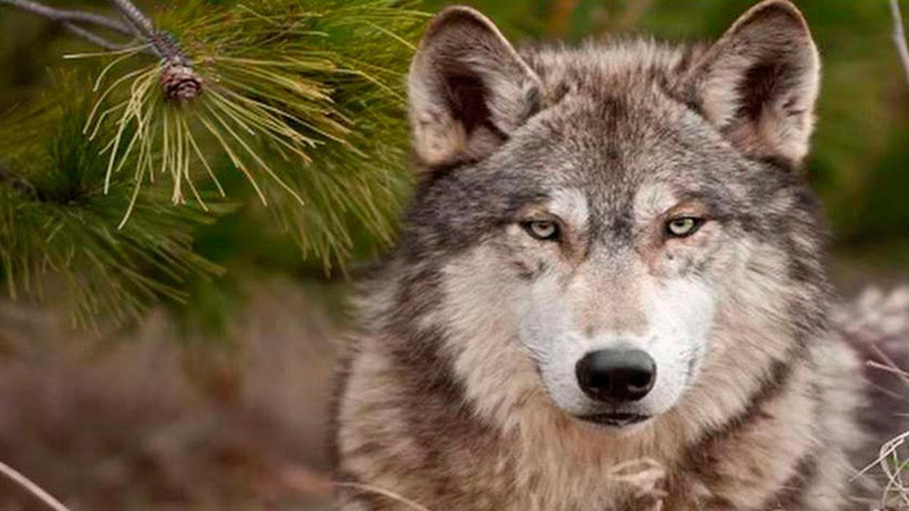 La Comunidad duplica las ayudas ganaderas por la existencia de lobos
