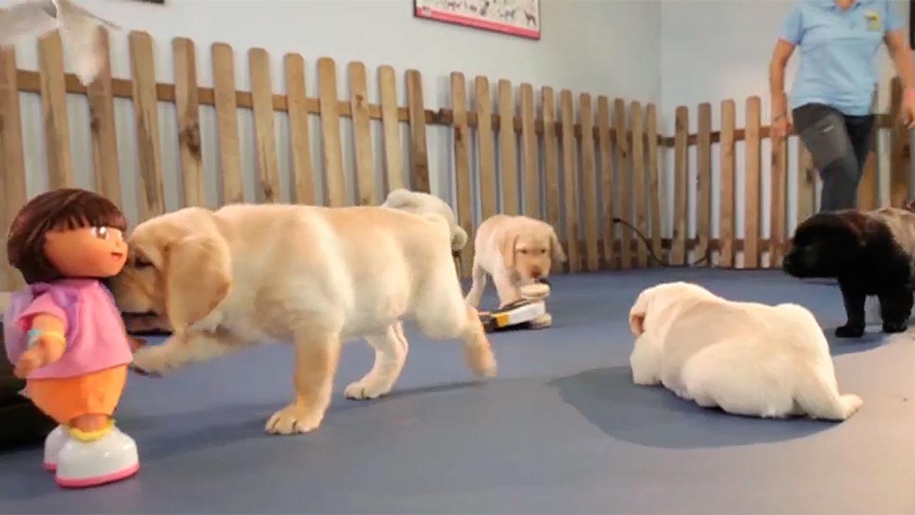 Animalia: Así se entrenan los perros lazarillos