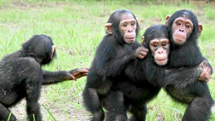 La Nasa ayuda a proteger los chimpancés donde comenzó a trabajar Jane Goodall