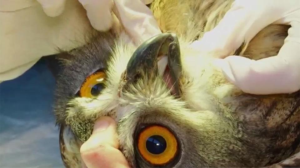 El hospital de animales salvajes de GREFA