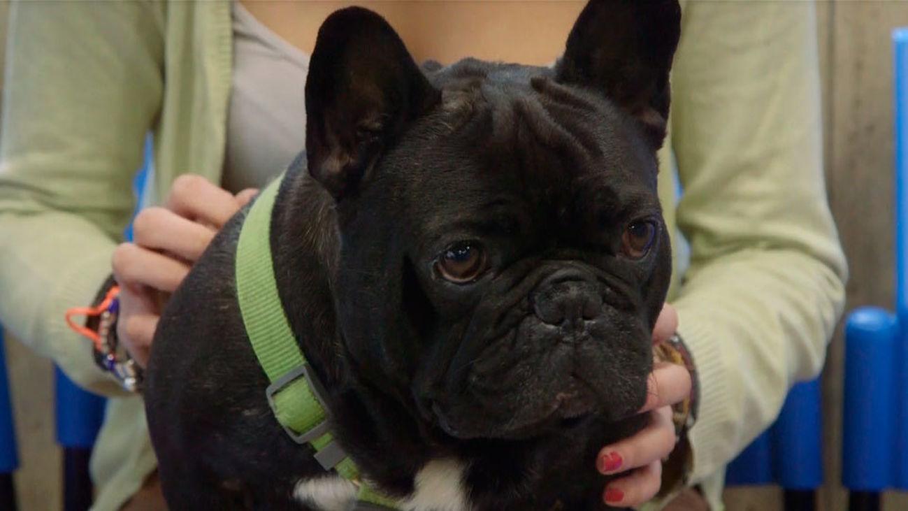 Animalia: Lolo, un bulldog que necesita dejar de roncar