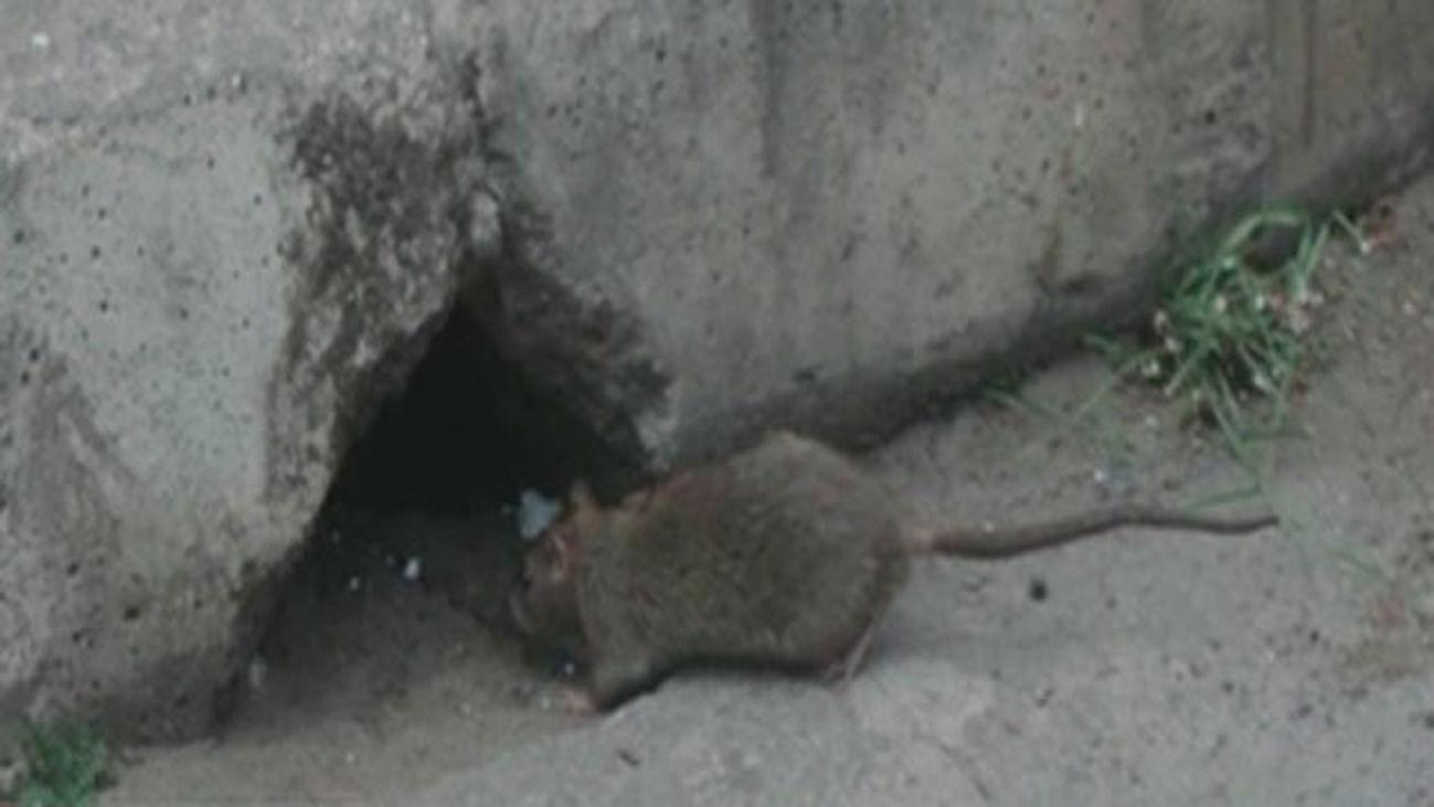 Las ratas invaden San Fernando de Henares