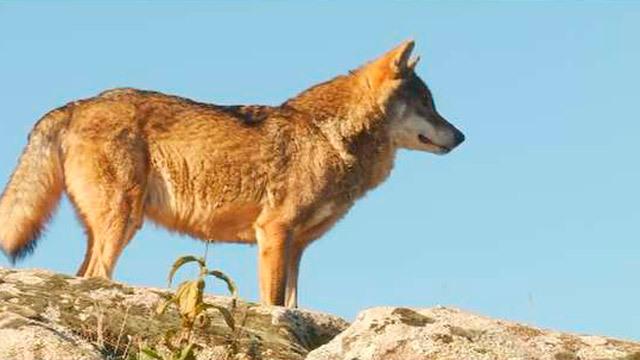 El debate sobre los lobos llega a la Asamblea