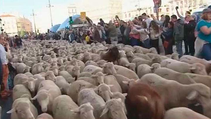1.300 ovejas y sesenta cabras recorren las calles de Madrid