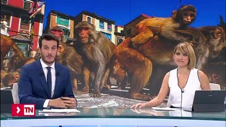 Los macacos del parque cántabro de Cabárceno se escapan de juerga