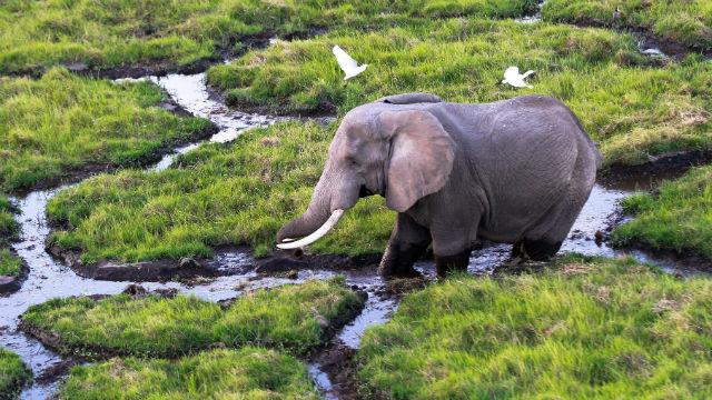 Un elefante atraviesa un pantano en el Parque Nacional de Amboseli (Kenia)