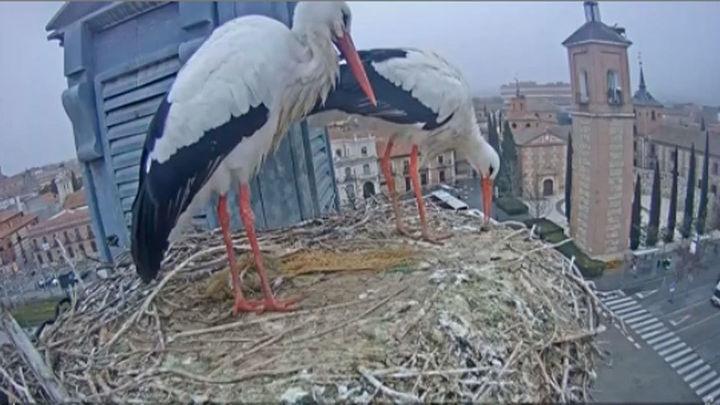 La vida en directo de las cigüeñas blancas de Alcalá gracias a una webcam