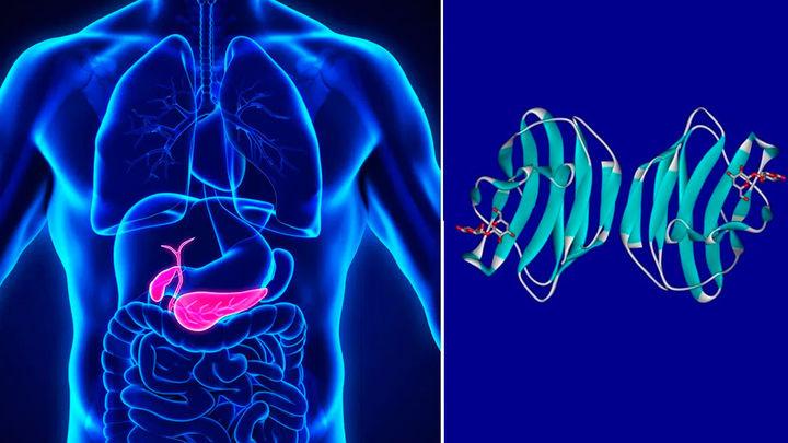 Inhibir la 'Galectina-1' podría ser el primer tratamiento efectivo para frenar el cáncer de páncreas