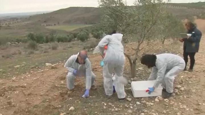 Toman medidas urgentes para atajar una plaga que afecta a los olivos en Madrid