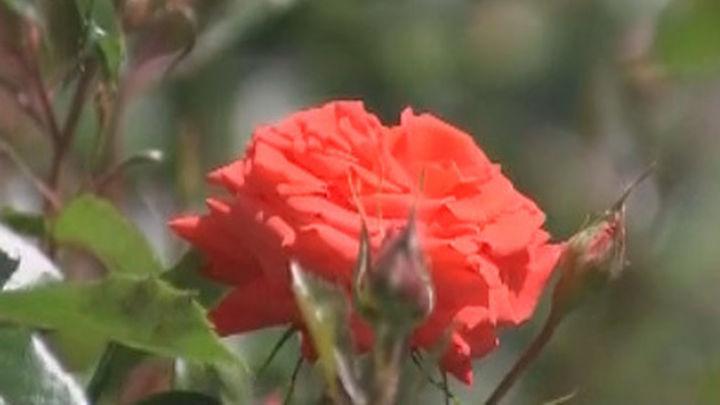 ¿Cuál es la rosa más bella del Parque del Oeste?