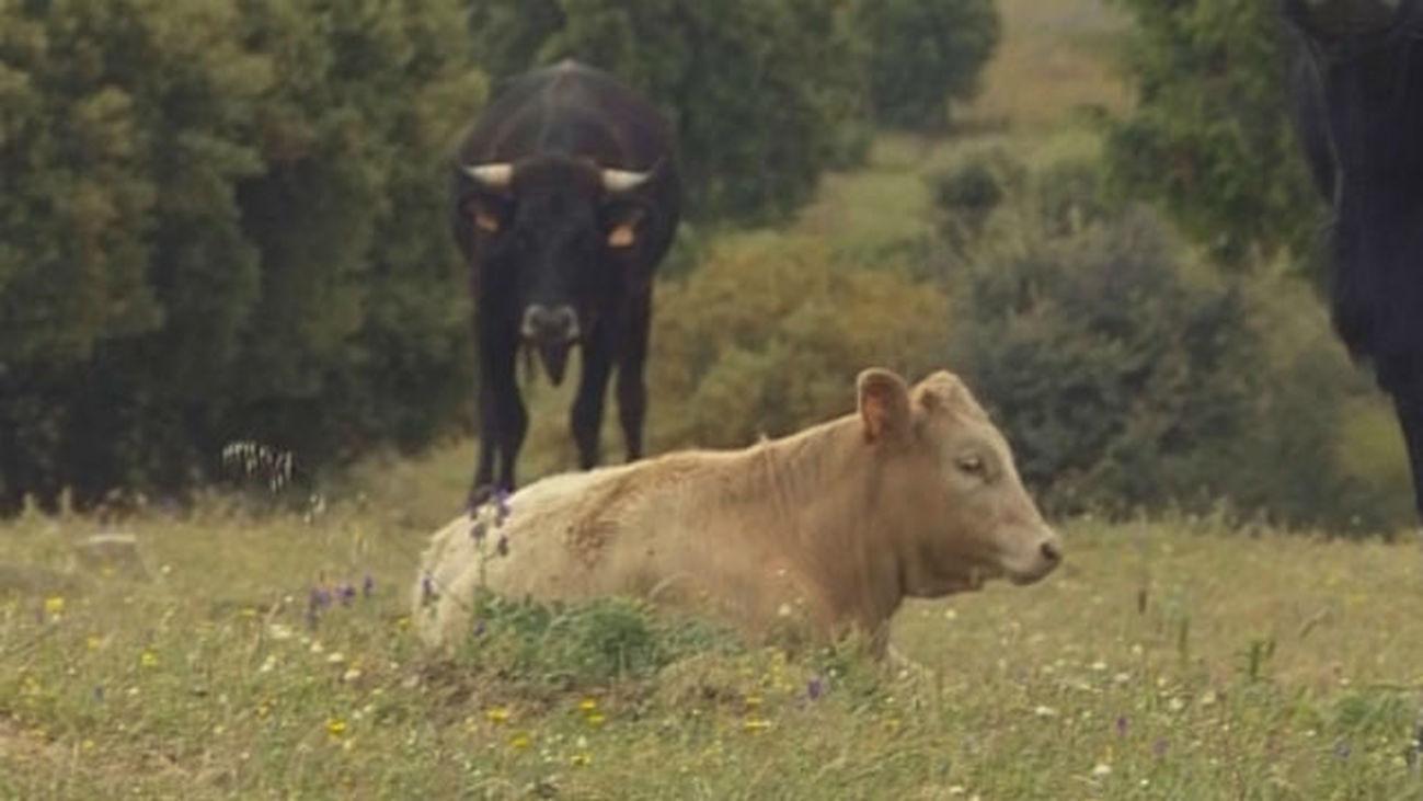 La selección genética puede reducir un 20 % el metano que originan las vacas