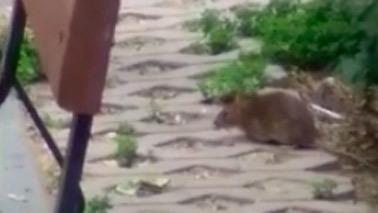 Plaga de ratas en el parque Miraflores de Fuenlabrada