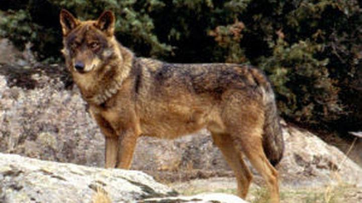 Madrid contabilizó 210 ataques de lobos a ganado en 2020, un 40% menos que en 2018