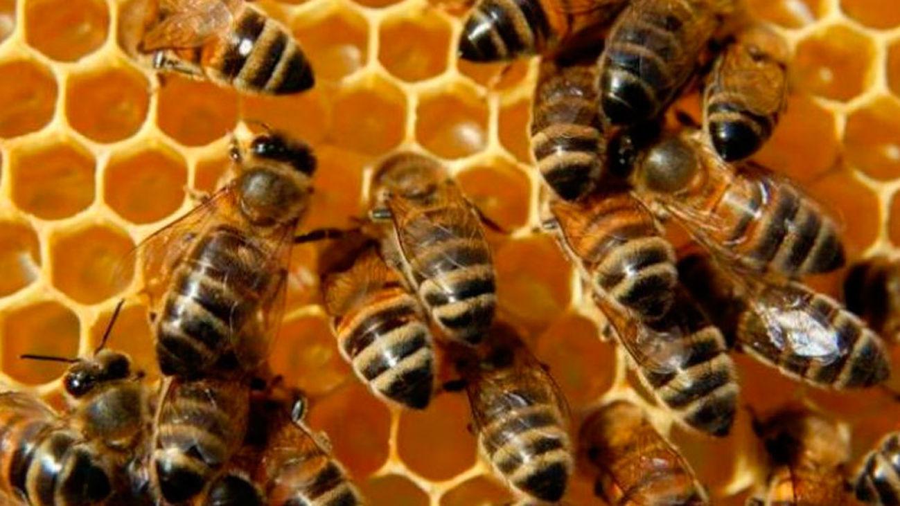 Un grupo de abejas fabrican miel en un panal