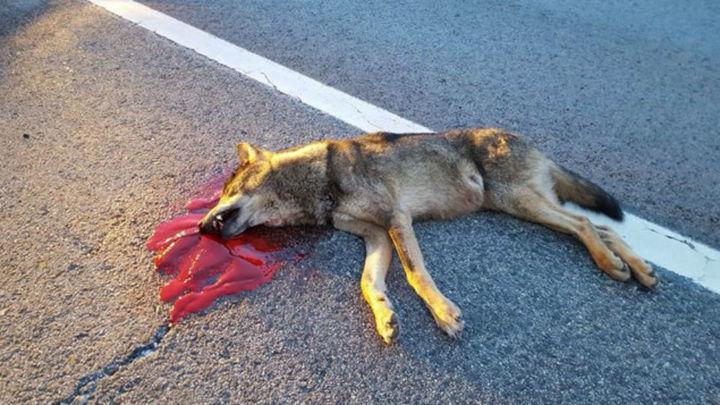 Un lobo joven muere atropellado  en una carretera de la Sierra